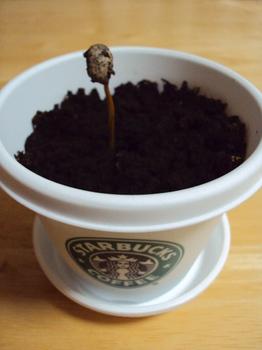 コーヒーの芽.JPG