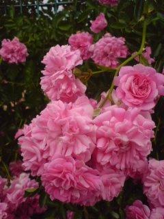 ピンクのバラ2.JPG